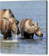 Moose Mama With Her Calf Canvas Print