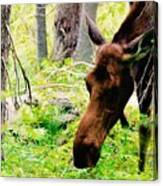 Moose Munching Canvas Print