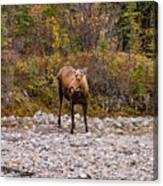 Moose Pawses In Mid-drink Canvas Print