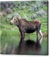 Moose Yellowstone Np_grk6918_05222018 Canvas Print
