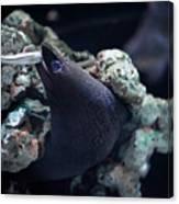 Moray Eel Eating Little Fish Canvas Print