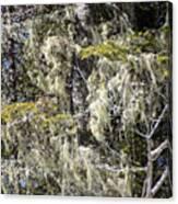 More Hoar On The Cedar Canvas Print