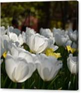 More White Tulips Canvas Print
