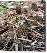 Morels A Plenty  Canvas Print