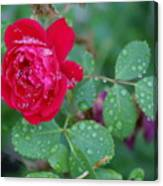 Morning Dew On A Rose Canvas Print