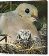 Morning Dove And Two Babys Canvas Print