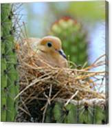 Mourning Dove Nest In A Cactus Canvas Print