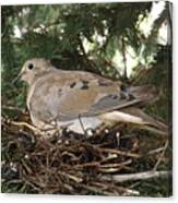 Morning Dove On Her Nest 2 Canvas Print