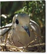 Morning Dove On Her Nest Canvas Print