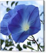 Morning Glory Delight Canvas Print