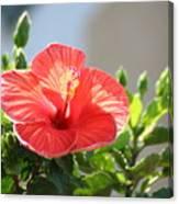 Morning Light Hibiscus Canvas Print