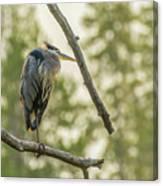 Morning Light On Great Blue Heron Canvas Print