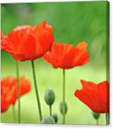 Morning Light Poppies Canvas Print