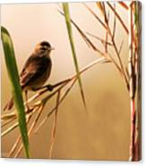 Morning Light Warbler Canvas Print