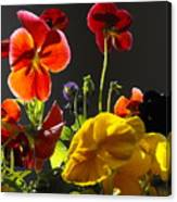 Morning Pansy's  Canvas Print