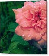 Morning Rose Canvas Print