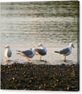 Morning Seagulls Canvas Print