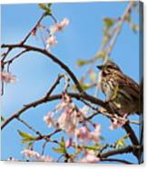 Morning Song Sparrow Canvas Print