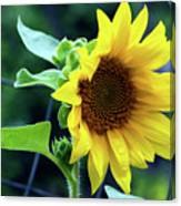 Morning Sunflower Canvas Print