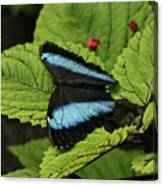 Morpho Butterfly Canvas Print