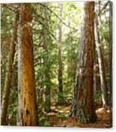 Morton Pines Canvas Print