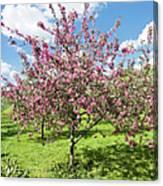 Moscow, Pink Cherries In Kolomenskoye Park Canvas Print