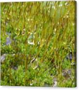Moss And Drops Canvas Print