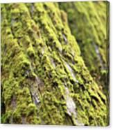 Moss On A Cedar Canvas Print