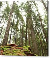 Moss Under The Cedars Canvas Print