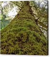 Moss Up A Tree  Canvas Print