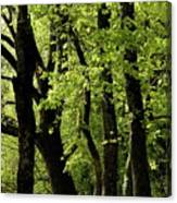 Mossy Trees In A Late Afternoon Forest Canvas Print