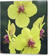 Moth Mullein Wildflowers - Verbascum Blattaria Canvas Print
