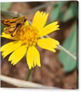Moth On Yellow  Canvas Print