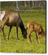 Mother Elk And Fawn Canvas Print