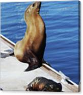 Mother And Baby Sea Lion At Oceanside  Canvas Print