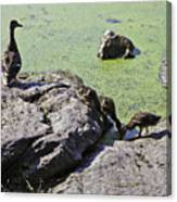 Mother And Her Ducklings Canvas Print