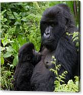 Mother And Suckling Baby Gorillas Canvas Print