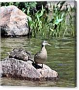 Mother Duck With Juveniles Canvas Print