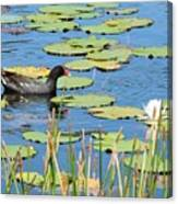 Mother Moorhen Canvas Print