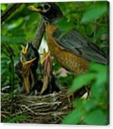 Mother Robin And Her Young Canvas Print