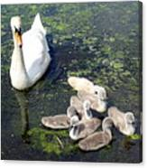 Mother Swan And Baby Cygnets Canvas Print