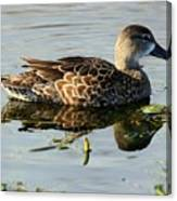Mottled Duck Canvas Print