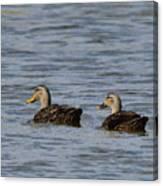 Mottled Ducks Canvas Print