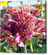 Mottled Pink Cone Flower Canvas Print