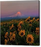 Mount Hood And Balsam Root Blooming In Spring Canvas Print