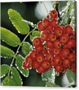 Mountain Ash Berries In Rain Canvas Print