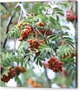 Mountain Ash Berries Canvas Print