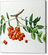 Mountain Ash With Berries  Canvas Print
