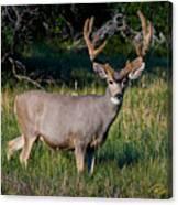Mountain Buck  Canvas Print