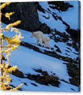 Mountain Goat And Larches Canvas Print